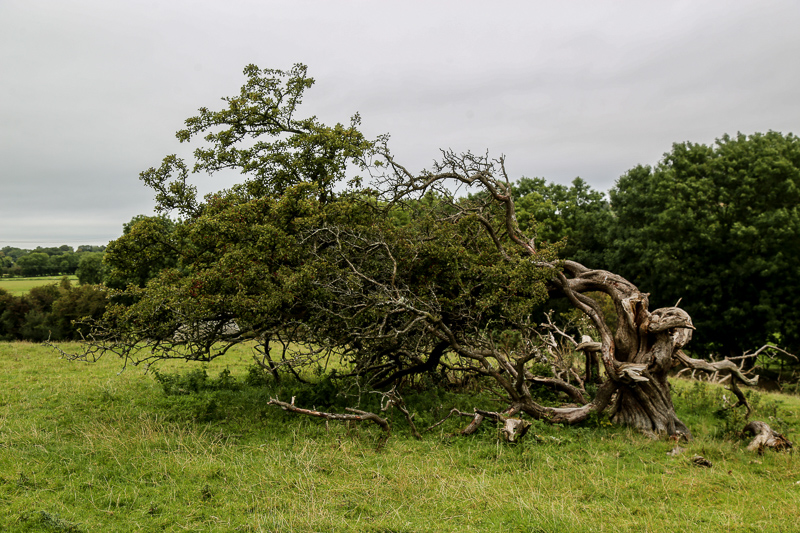 Fairy Tree at the Pipers Stones - Co. Wicklow