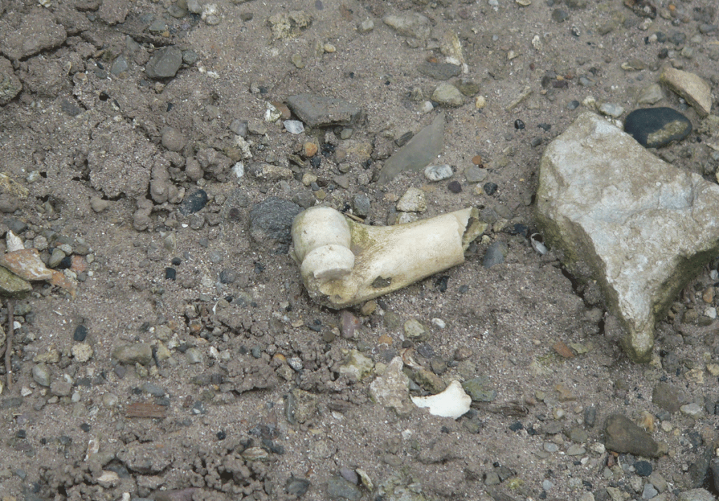 bones from washed out graves near church ruin in Kilshannig