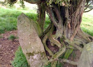 Whitethorn Tree roots grip the stones in the circle