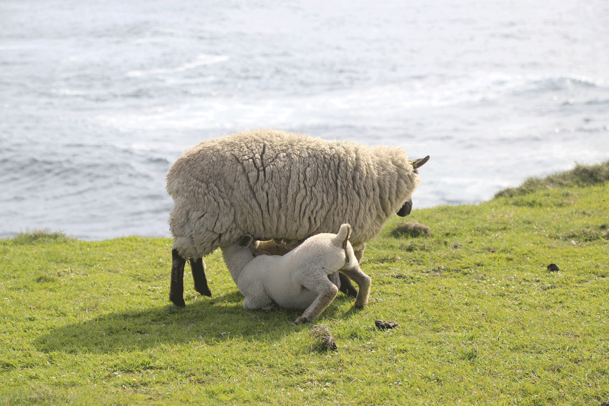 Downpatrick Head Sheep