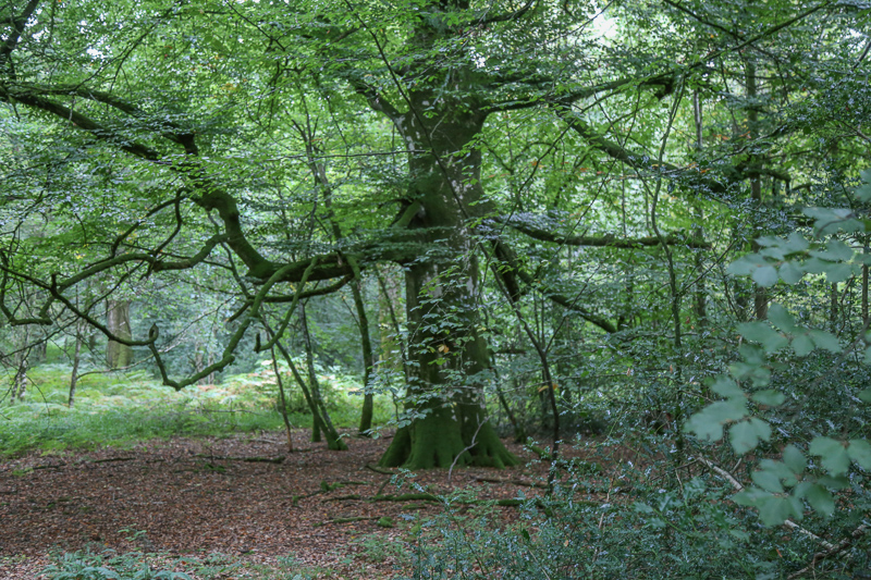 Oak tree in the Tomnafanogue Forest - oldest oak forest in Ireland