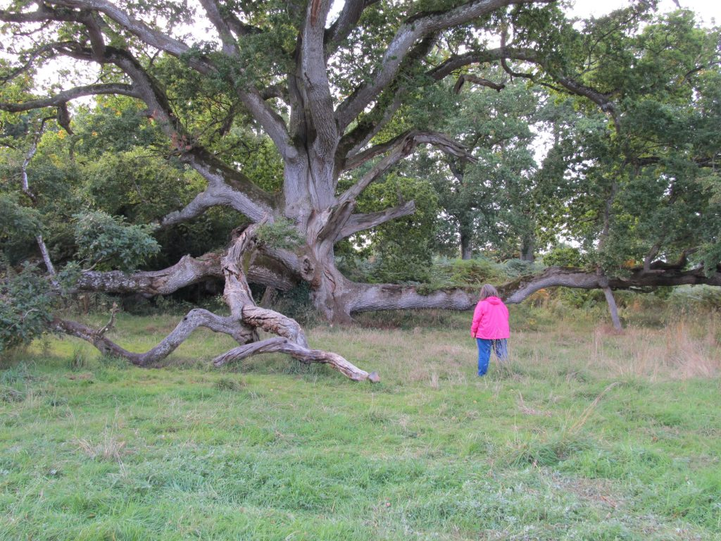 The King Oak in the Charleville Forest - 400-800 years old - County Offaly