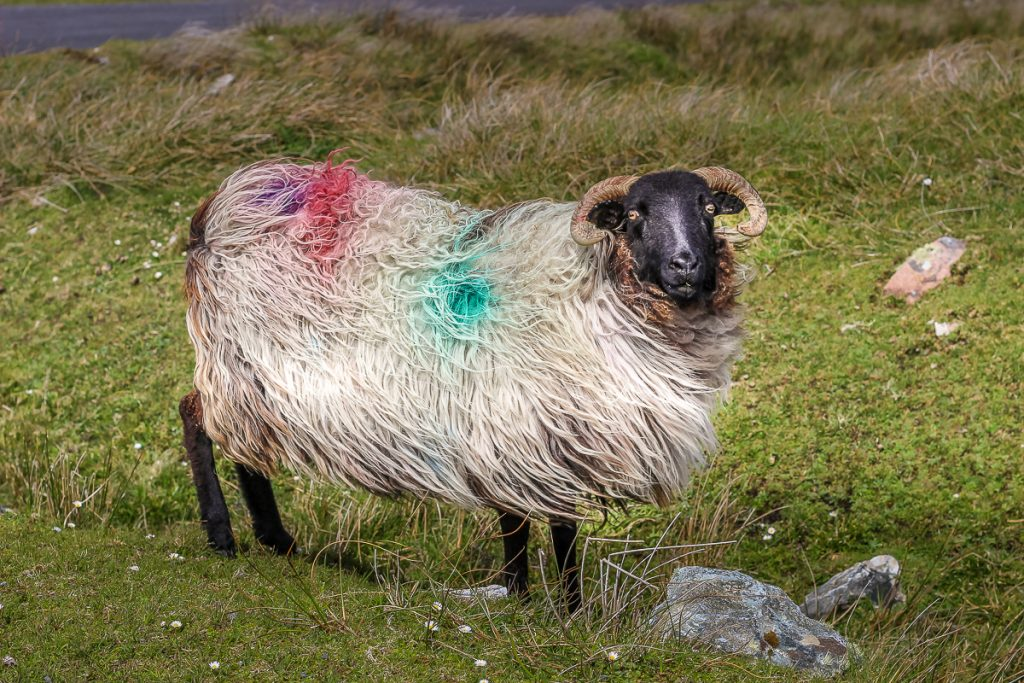 Sheep on the cliffs of Achill Island, County Mayo