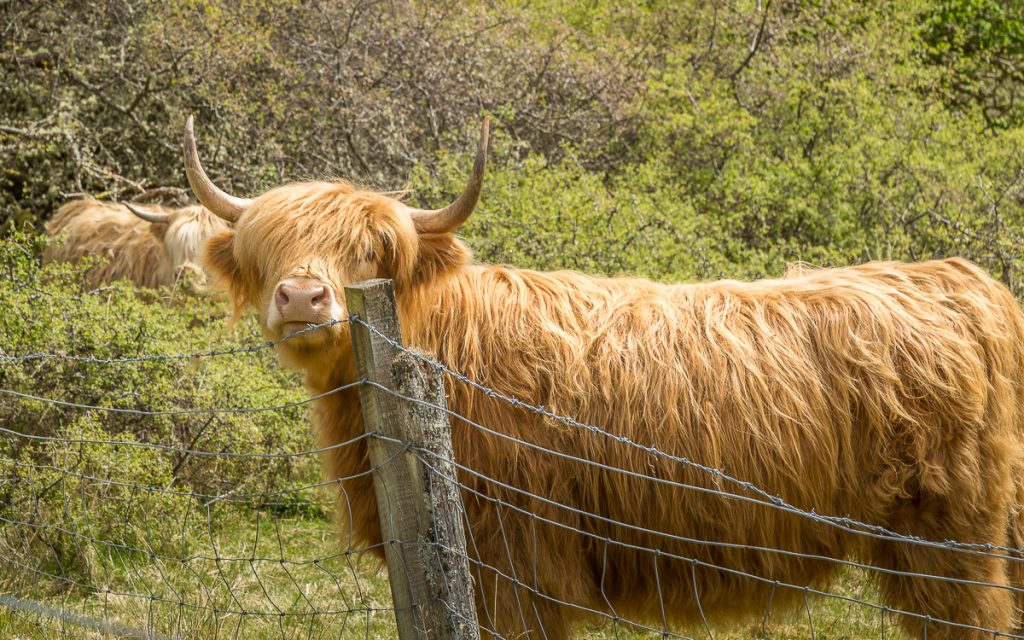 Highland Cow (Coo)